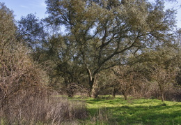 Oak trees near the American River